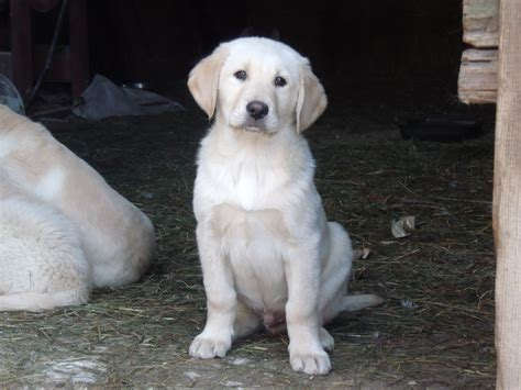 labrador mix with golden retriever labrador golden retriever mix