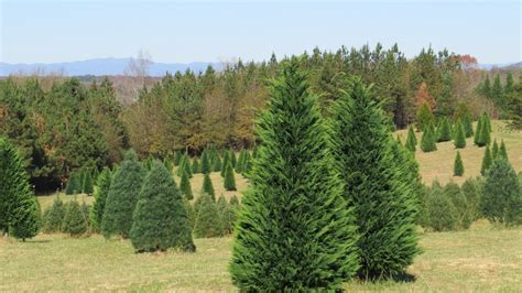 despite erratic weather christmas trees are as merry as