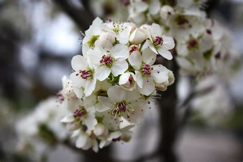 pear tree blossoms but no fruit cleveland flowering pear tree the tree center