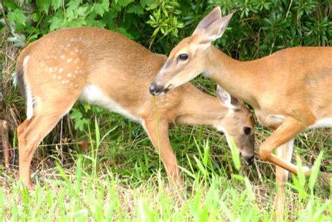 buck trust whitetail deer and baby buck crew land water