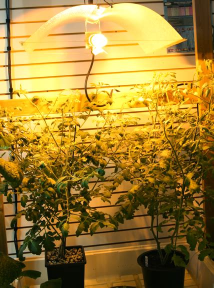 grow lights for tomatoes indoor grow lights how to grow pot without getting caught