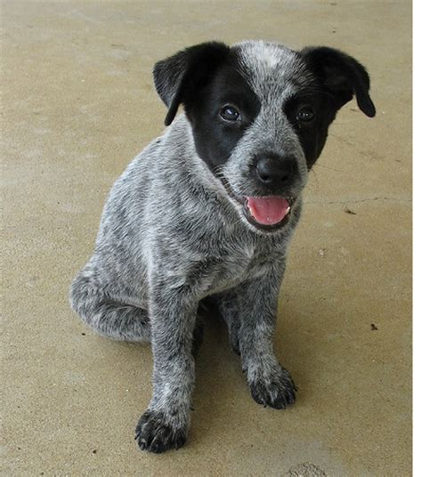 how much are blue heeler puppies image of a blue heeler puppy in three toned colors with black grey and white png 1