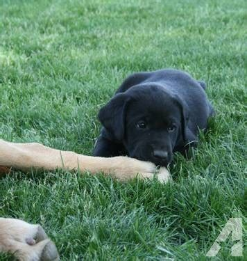 7 week lab puppy akc black lab puppy 7 weeks for sale in othello washington classified