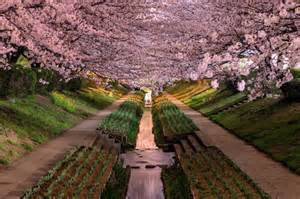 wisteria flower tunnel in japan wisteria flower tunnel in japan wallpaper for android