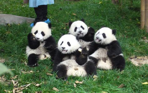 Panda, Giant Panda, Panda Facts, Panda Polulation, Pandas ...