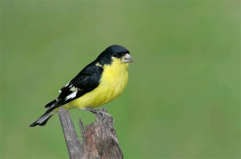 lesser goldfinch birds of a feather pinterest
