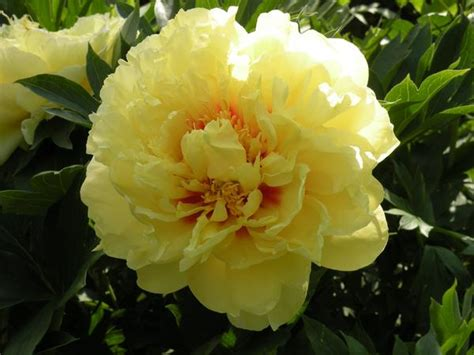 garden treasure yellow intersectional itoh peony