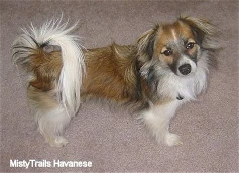 haired havanese havanese breed pictures 7
