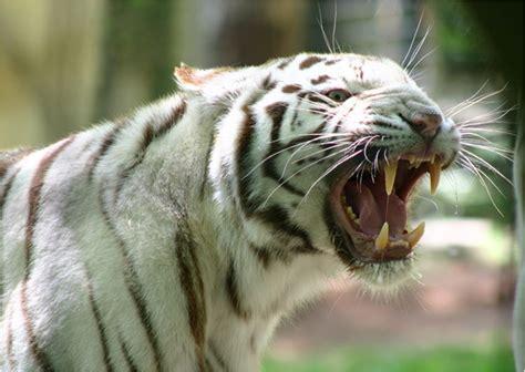 tiger tiger essential modern naturen ka f