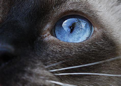 Cat Eye Blue Berkualitas blue ojos azules blue ojos azules flickr