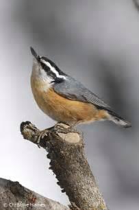 great backyard bird count february 12 15 2010