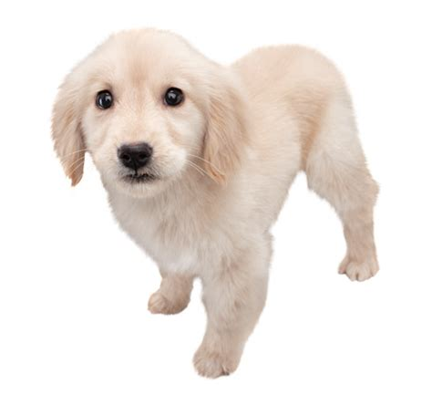 nintendogs and cats golden retriever breeds nintendogs cats golden retriever new friends nintendo uk store