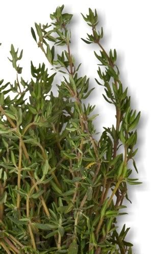 thyme plant pharmacognosy medicinal plants