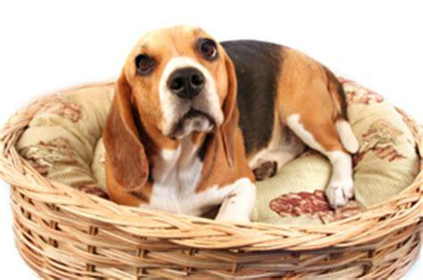 pseudopregnancy in dogs matthews animal clinic