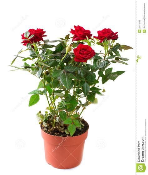 Roses In A Pot Stock Photography   Image: 25970192
