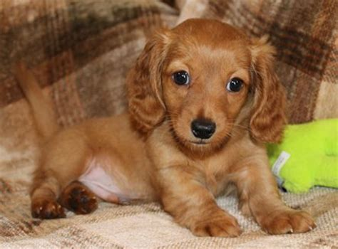 haired miniature dachshund puppies for sale best 20 miniature dachshunds ideas on miniature dogs dachshund puppies