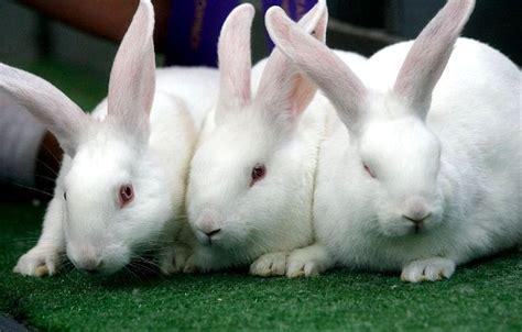 Es Lilin Yoghurt Sentulfresh apakah setiap orang bisa memelihara kelinci