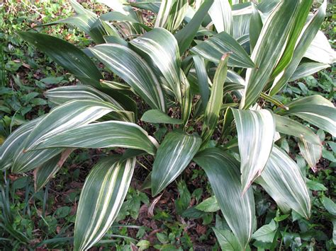 aspidistra elatior online plant guide aspidistra elatior variegata variegated aspidistra