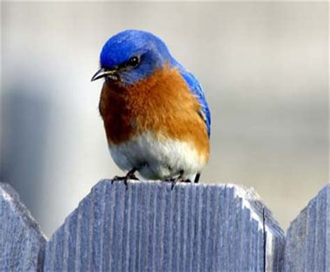 new york state bird eastern bluebird