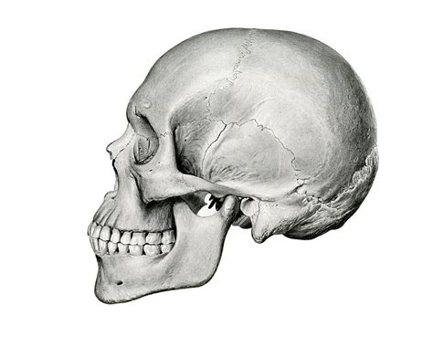 Skull Side View Drawing