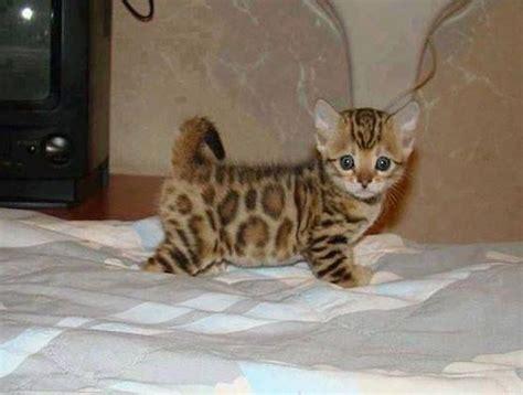 cute asian leopard cat adorable baby animals pinterest
