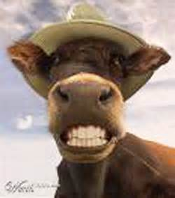 funny cow pictures