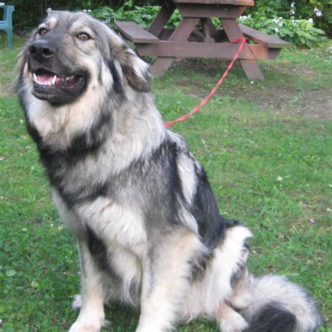 how to an alsatian american alsatian breed guide learn about the american alsatian