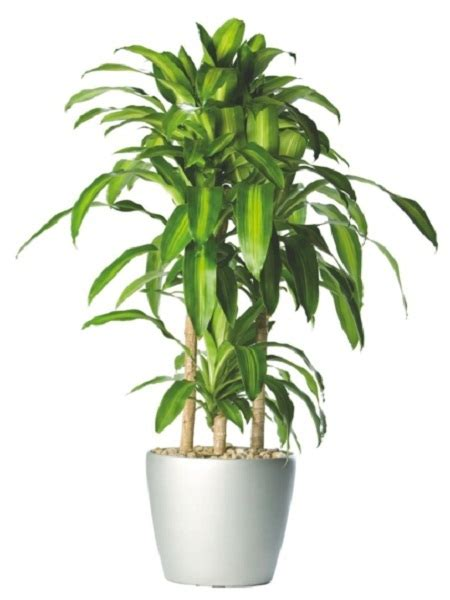 inside urban green low light low maintenance dracaena bowl dracaena fragrans plants flowers cornstalk dracaena a