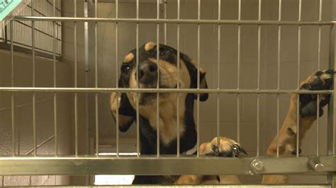 ky humane society dogs ky humane society successful with adoptions whas11