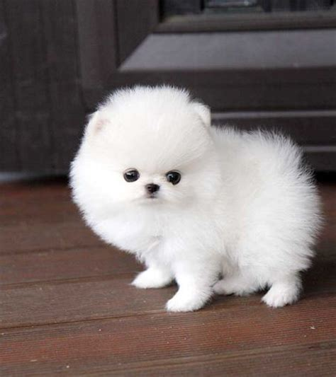 teacup pomeranian houston teacup pomeranian will and so on