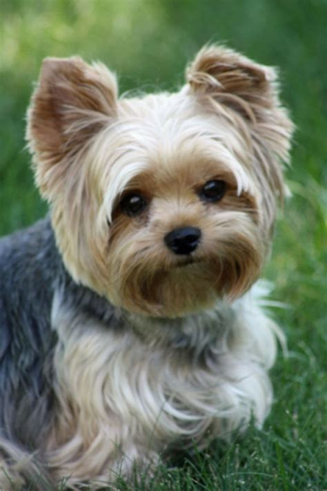 black yorkie dog hairstyles yorkie summer haircuts yorkie puppy cut teacup