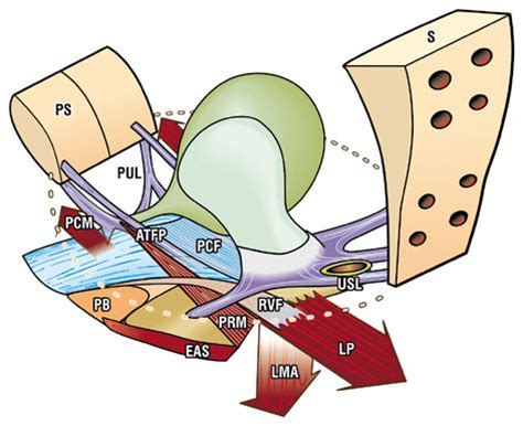 Pevic Floor Ligament by Structure And Form In The Pelvic Floor
