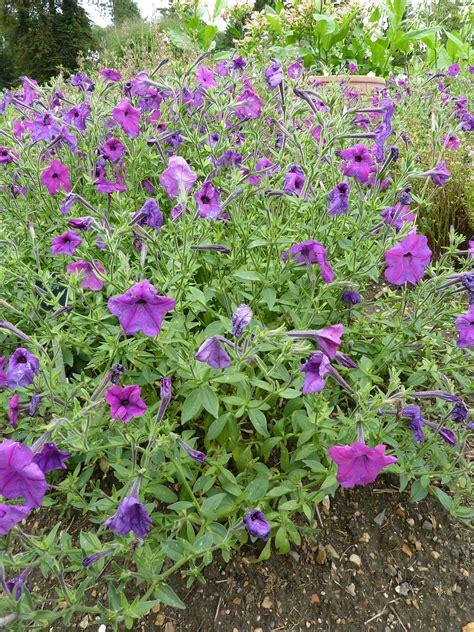 file p1000498 petunia parviflora solanaceae plant jpg