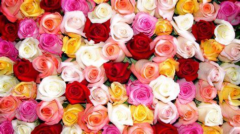 roses wallpaper qygjxz