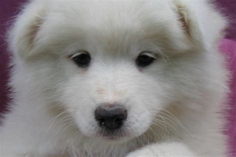 pugs for sale buffalo ny samoyeds for sale in ny myideasbedroom