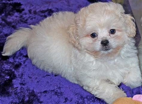 shih tzu peekapoo mix peekapoo puppy for sale