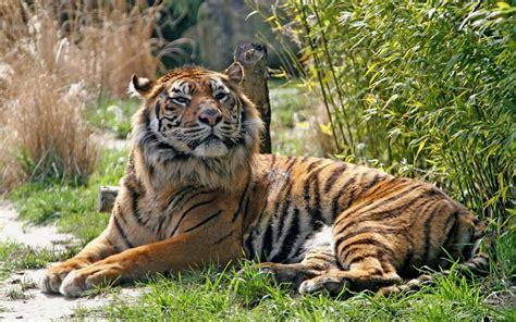 Bantal Macan Dan Singa binatang buas animal planet