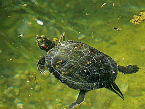 lada uvb per tartarughe d acqua acquaterrario per tartarughe d acqua l importanza dell