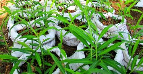 Bibit Sengon Buto jual biji benih dengan harga murah bajatani jual