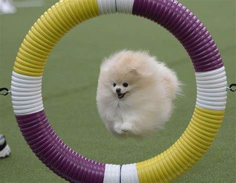 pomeranian show breeders feb 10 daily brief westminster show begins flooding in the uk and more