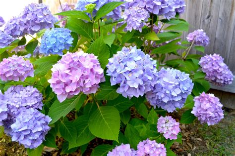 hydrangea in bloom pop circumstance guidebook for