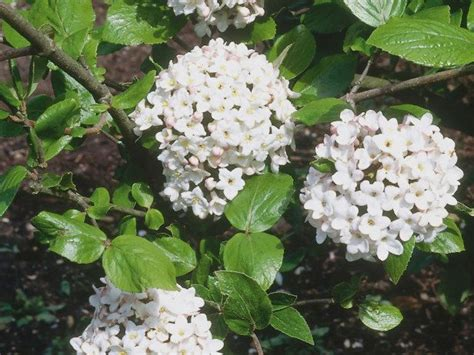 a compact deciduous shrub the viburnum offers clusters of