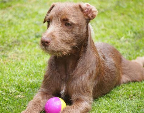 pics of long hair dark browm terriers patterdale terrier