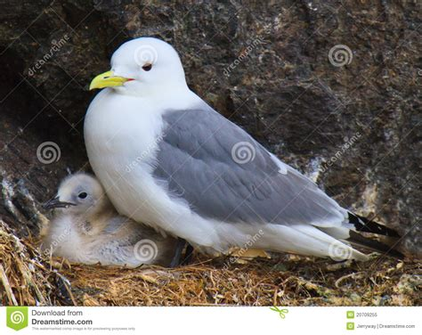 pulcino di gabbiano pulcino gabbiano di aringhe in nido con la sua madre