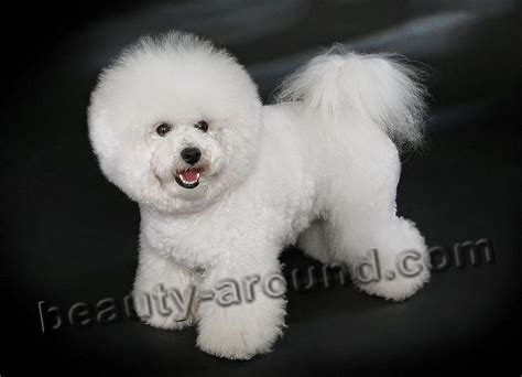 bichon frise poodle lifespan top 12 most beautiful white dogs