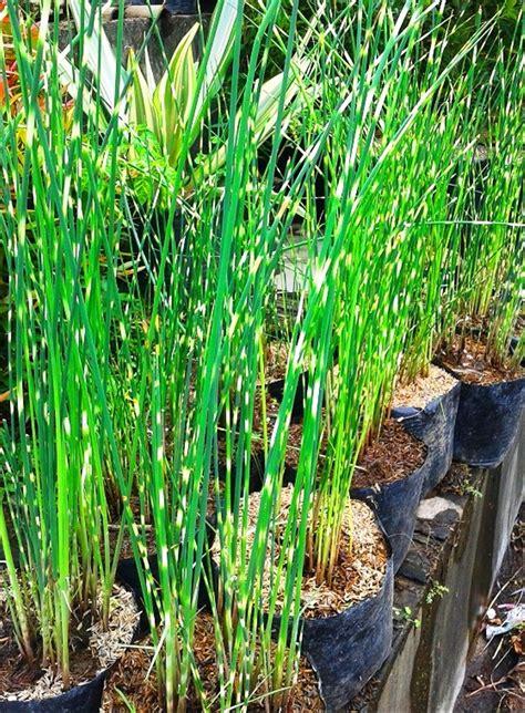 jual tanaman hias bambu air varigata  lapak kayyisa fam