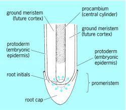 diagram of root tip meristem root tip