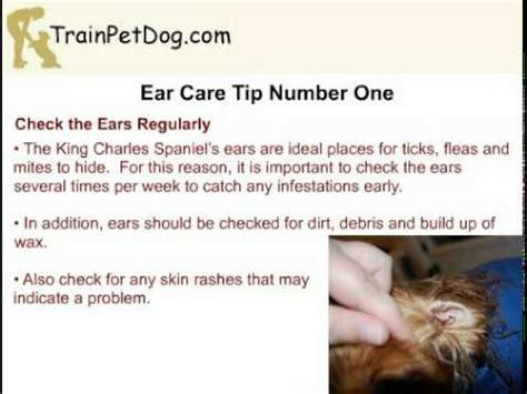 5 tips on ear care in king charles spaniel youtube