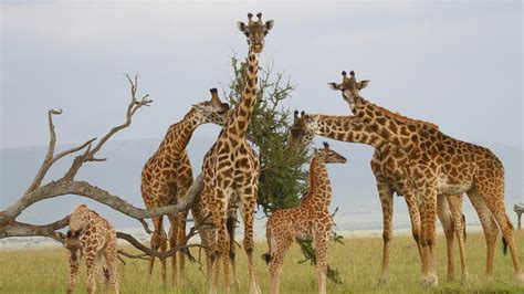 giraffes family pups dried wood dry savannah grass wallpaper hd  desktop wallpaperscom