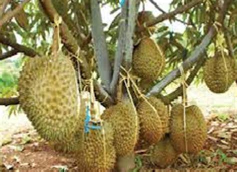 Bibit Durian Bawor Berbuah membuat durian bawor berbuah tanpa mengenal musim
